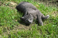 Gatto grigio nell'erba Immagine Stock Libera da Diritti