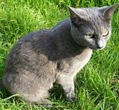 Gatto grigio nell'erba Fotografia Stock