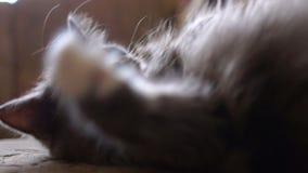 Gatto grigio pigro eccellente che tayking un certo resto video d archivio