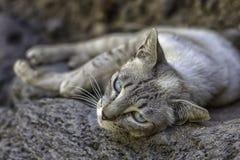 Gatto grigio selvaggio con gli occhi azzurri Fotografie Stock Libere da Diritti