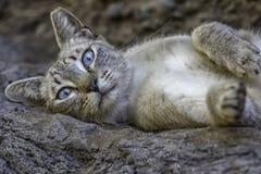 Gatto grigio selvaggio con gli occhi azzurri Fotografia Stock