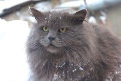 Gatto grigio siberiano simile a pelliccia nella neve, gatto severo fotografie stock