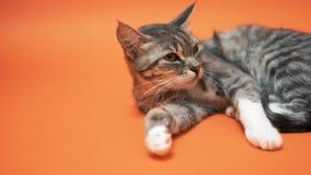 Gatto grigio su fondo arancio video d archivio