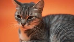 Gatto grigio su fondo arancio archivi video