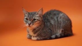 Gatto grigio su fondo arancio stock footage