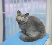 Gatto grigio sveglio Immagini Stock