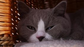 Gatto grigio sveglio stock footage
