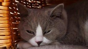 Gatto grigio sveglio archivi video
