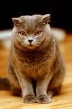 Gatto grigio sveglio con lo sguardo curioso Immagini Stock