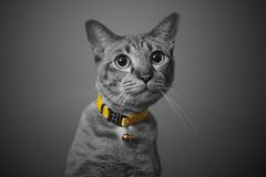 Gatto grigio sveglio, sguardo curioso, fondo in bianco e nero Immagini Stock