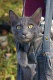 Gatto grigio in un sacchetto Fotografia Stock