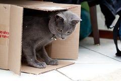 Gatto grigio in una casella Fotografia Stock Libera da Diritti
