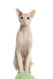 Gatto hairless di Peterbald immagini stock libere da diritti