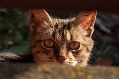 Gatto impaurito Fotografia Stock Libera da Diritti
