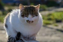 Gatto imponente che si siede con i suoi occhi chiusi Fotografia Stock