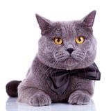 Gatto inglese con i grandi occhi arancioni Fotografie Stock