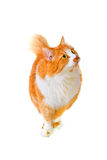 Gatto isolato Fotografia Stock Libera da Diritti
