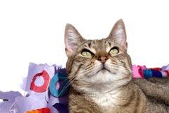Gatto isolato che osserva in su Fotografie Stock Libere da Diritti