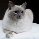 Gatto isolato di Ragdoll Fotografie Stock