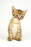 Gatto isolato su priorità bassa bianca fotografia stock libera da diritti
