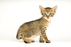 Gatto isolato su priorità bassa bianca Fotografie Stock Libere da Diritti