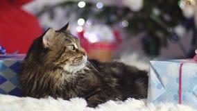 Gatto laizy divertente di Maine Coon come Santa Claus indossa le bugie del cappuccio di natale con i regali dall'abete decorato b stock footage