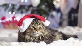 Gatto laizy divertente di Maine Coon come Santa Claus indossa le bugie del cappuccio di natale dall'abete decorato bello nuovo an stock footage