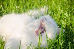 gatto lanuginoso bianco che si trova sull'erba e sugli sbadigli Immagini Stock Libere da Diritti
