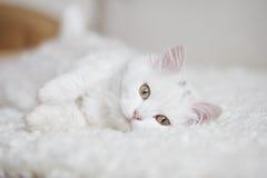 Gatto lanuginoso bianco che si trova sulla vettura bianca Immagine Stock
