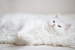 Gatto lanuginoso bianco che si trova sulla vettura bianca Immagini Stock