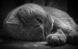 Gatto lanuginoso che dorme su una coperta Immagini Stock Libere da Diritti