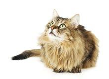 Gatto lanuginoso che osserva in su. Occhi rotondi. Isolato Fotografie Stock Libere da Diritti