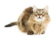 Gatto lanuginoso che osserva in su. Occhi rotondi. Isolato Fotografia Stock Libera da Diritti