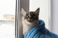 Gatto lanuginoso sveglio con il sititng degli occhi azzurri su un davanzale della finestra immagine stock libera da diritti