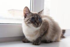 Gatto lanuginoso sveglio con il sititng degli occhi azzurri su un davanzale della finestra immagini stock libere da diritti