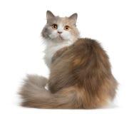 Gatto longhair britannico, 11 mese Fotografie Stock