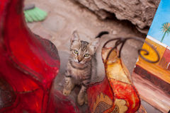 Gatto marocchino Fotografia Stock Libera da Diritti