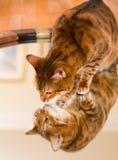 Gatto marrone arancio del Bengala che riflette in specchio Fotografia Stock Libera da Diritti
