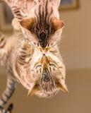 Gatto marrone arancio del Bengala che riflette in specchio Immagini Stock Libere da Diritti