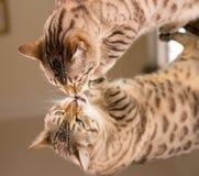 Gatto marrone arancio del Bengala che riflette in specchio Fotografie Stock Libere da Diritti