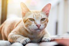 Gatto marrone tailandese Fotografia Stock