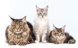 Gatto maturo e due gattini Fotografia Stock Libera da Diritti