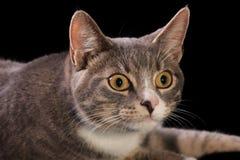 Gatto messo a fuoco Fotografia Stock