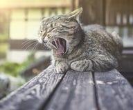 Gatto miagolante adorabile Immagine Stock