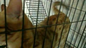 Gatto molto raro del Bengala in Tailandia archivi video