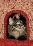 Gatto nel condominio del `s del gatto Immagini Stock Libere da Diritti