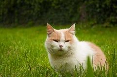Gatto nell'erba verde Gatto rosso lanuginoso con gli occhi gialli fotografia stock libera da diritti