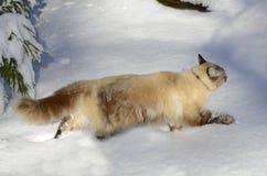 Gatto nella neve Immagine Stock Libera da Diritti