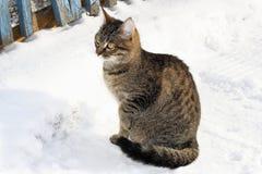 Gatto nella neve di inverno Fotografia Stock Libera da Diritti