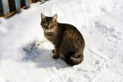 Gatto nella neve di inverno Immagini Stock Libere da Diritti